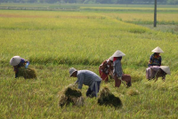 Rice fields 2 (Tim Doling)